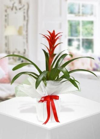 çerkezköy çiçek siparişi Guzmanya