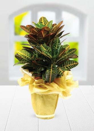 çerkezköy çiçek siparişi Kraton